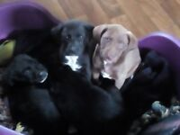 2 Staffy/ Labradoodle puppies for sale