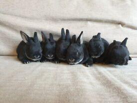 Purebred baby Mini Rex rabbits