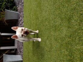 Platinum French Bulldog Puppy 10 months old