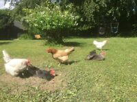 5 Chickens Free to good home