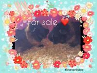 2 guinea pigs for sale + bundle