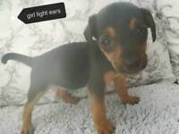 Black and tan jack Russell puppies