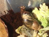 Free giant African snails