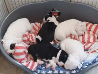 Staffy puppies. Staffordshire bull terrier. SBT