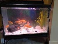 20 Gallon aquarium with filter and 7 large Gold fish**