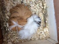 TWO FEMALE GUINEA PIGS AND HUTCH
