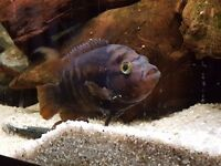 Rainbow Cichlid Fish FREE to a good home