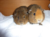 PAIR OF YOUNG REX BOARS FOR SALE