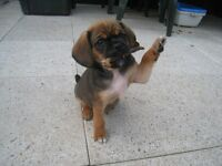 Pugalier pups , Beautiful wee girls and boys ready to go £295