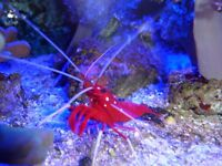 large cleaner shrimps and red lobster shrimps.( ONLY 1 EACH LEFT)