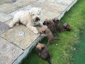 Beautiful Soft Coated Wheaten Terrier puppies seeking loving homes.