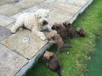 Beautiful Soft Coated Wheaten Terrier puppies seeking loving homes.