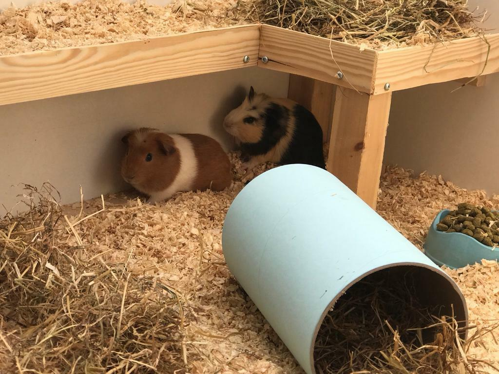 2 male guinea pigs looking for a new home