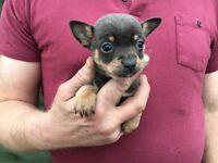 Chihuahua x jack russells