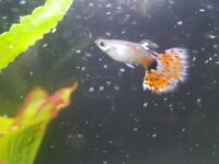 Red Mosaik Delta Tail Male Guppies