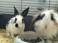 2 loving male rabbits (3 months old)