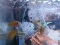 Fish malowi