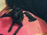 Beautiful German Shepherd Puppies Black & Black/Tan available
