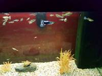 Fish (guppys/male/female)