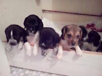 Beagle x spaniel puppies