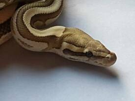 Adult male lesser fire royal python / snake