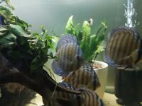 Wild Blue Discus Fish Approx 4-5 inches. Stunning Fish.