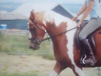 14.1h 12 yr old coloured mare for loan