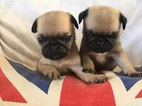 KC registered Pug puppies (ready soon )