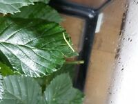 stick insect babies for sell £1 each