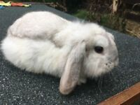 Mini lop female rabbit