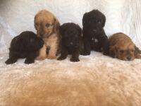 Lakeypoo Puppies