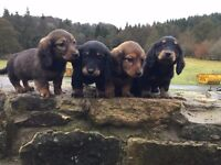 Dachshund minature long haired pups