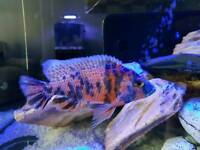 Adult Malawi fish