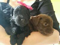 Poodle x Yorkshire terrier yorkiepoo