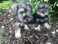 Miniature Schnauzer Puppies KC Registered