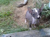 hairless chinese crested chihuahua