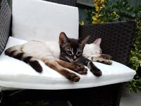 Charcoal Bengal Kitten
