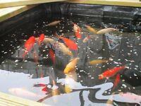 Gold Fish (selection)