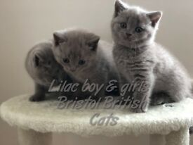 british shorthair cats kittens babies lilac blue