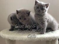 british shorthair cats kittens babies lilac blue
