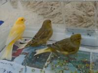 Canaries three yellow and two green