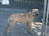 Staffordshire (staff) bull terrier Bitch for sale (8 months old)