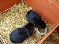 Two lovely young male rabbits for sale. Bred from male lionhead and female dutch cross.
