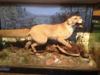 Taxidermy fox and pheasant peter spicer? We shellbrook