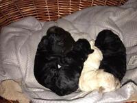 2nd generation Poodle X Bichon Frise puppies (Poochons)
