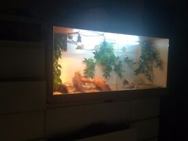 Free male or female bearded dragon for good home