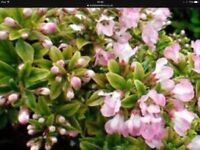 Escallonia Hedging Plants. 24 ins. £1.80