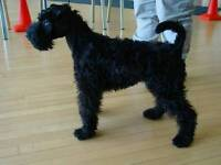 Kerry blue terrier puppy bitch for sale