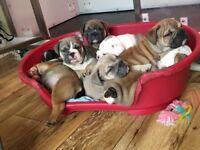 KC reg triple carrier English bullldog puppies