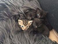 10 week female kitten - SOLD